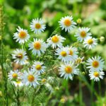 Chamomile,depression,supplements,herbal,vitamins,natural cure,anxiety