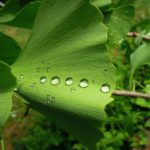 Ginkgo,depression,supplements,herbal,vitamins,natural cure,anxiety