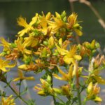 St. John's wort,depression,supplements,herbal,vitamins,natural cure,anxiety