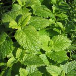 Lemon Balm,depression,supplements,herbal,vitamins,natural cure,anxiety