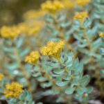 Rhodiola Rosea,depression,supplements,herbal,vitamins,natural cure,anxiety