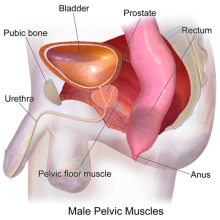 pelvic floor exercise,prostate,prostate health,prostate enlargement