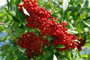 rowan red berries,immune system,immune system boosters,vitamins,remedies,exercise,diet,folk remedies,getting sick,flu season,probiotics,zinc,multivitamins,stress,hot tea