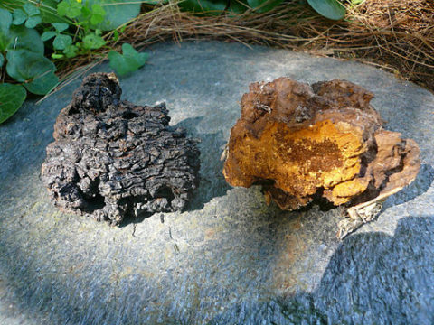 chaga,chaga mushroom,cancer,chaga tea,chaga powder,weight loss,cure cancer,chaga infusion,health benefits