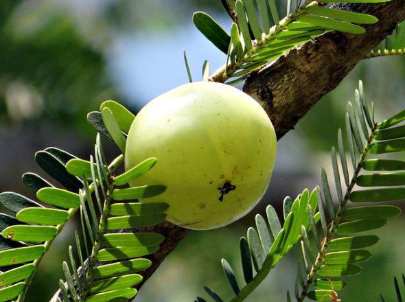 Triphala,benefits,Ayurveda,weight loss,digestive system,detox,Haritaki,Amla,Bibhtaki, laxative,Triphala tea,Triphala Powder