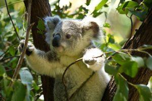 eucalyptus,koala