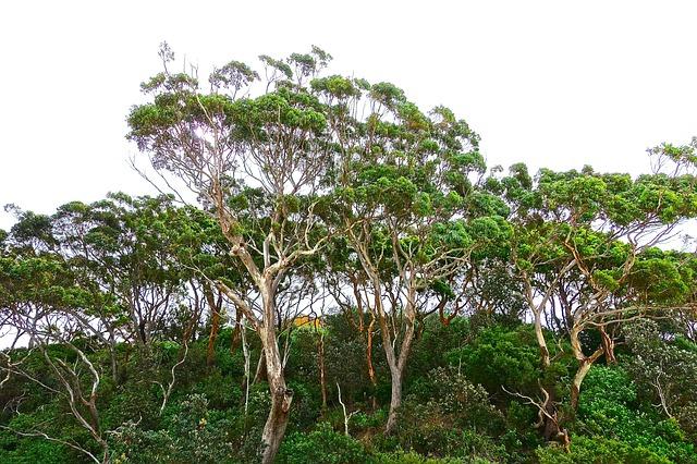 eucalyptus,eucalyptus tree,essential oil